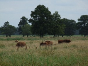 Case Study 4 - Highland cattle