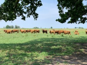 A herd of cattle standing on top of a lush green field Description automatically generated